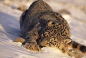 Snow Leopard Sleeping In Snow — Stock Photo