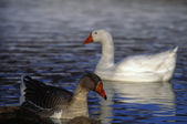 Pair Of Snowgeese — Stock Photo