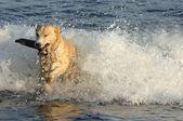 Dog Retrieves A Stick — Stock Photo