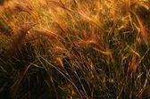 Wheat Stalks — Stock Photo