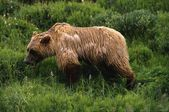 Wet Grizzly Bear — Stock Photo