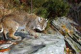 Bobcat On A Rock — Stockfoto
