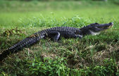 Alligator (Crocodylia Reptilia) — Stock Photo
