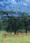 Herd Of Impala, Masai Mara National Reserve, Kenya — Stock Photo