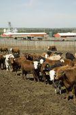 Allevamento bovino — Foto Stock