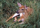 Baby Fawn Sitting In The Grass — Stock Photo
