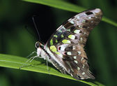 Tailed Jay Butterfly Profile — Foto Stock