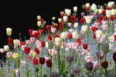 Färgglada tulpaner — Stockfoto