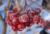 Highbush Cranberry Fruit With Frost — Stock Photo