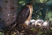 Cooper's Hawk In Nest With Young — Stock Photo
