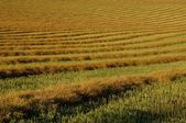 Rows Of Canola Windrows — Foto de Stock