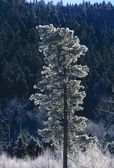 Frost-Covered Ponderosa Pine Tree In The Jemez Mountains — Stock Photo