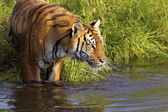 In piedi di tigre in acqua — Foto Stock