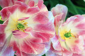 Two Pink And White Tulips — Stock Photo