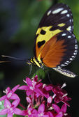 Tiger Longwing Butterfly — Stock Photo