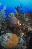 Grauer kaiserfisch — Stockfoto
