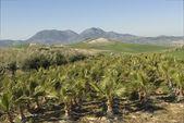 Palm Tree Farm, Spain — Stock Photo