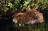 Beaver In Water — Stockfoto