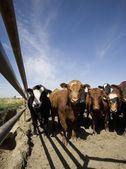 Grupa krów — Zdjęcie stockowe