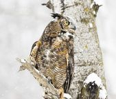 Long-Eared Owl In The Winter — Stock Photo