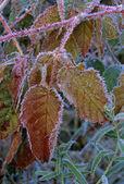 Frost On Blackberry Bush — Stock Photo