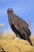 Golden eagle portrét — Stock fotografie