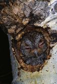 Flammulated Owl In Nest Cavity — Foto Stock