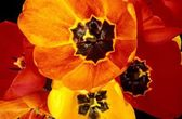 Close Up Of Vibrant Tulips — Stock Photo