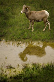 Big Horn Sheep Standing Near Water — Stock Photo