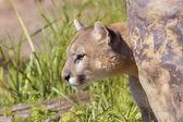 Cougar — Stock Photo