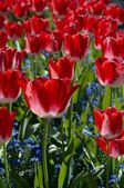 Countless Red Tulips — Stock Photo