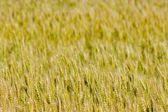 Grain background — Stock Photo