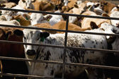 Cattle In A Crowded Pen — Stock Photo