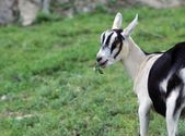 Young Dairy Goat Grazing — Foto de Stock