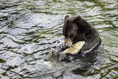 Grizzly Bear Fishing — Stock Photo