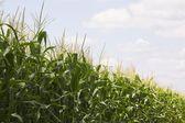Sädesfält — Stockfoto