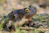 Spadefoot Toad — Stock Photo