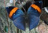 Martwy liść motyl — Zdjęcie stockowe