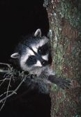 Raccoon In Tree — Stock Photo