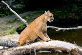 Cougar Scratching Log — Stock Photo