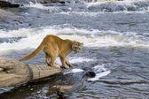 Cougar At River — Stock Photo