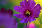 Purple Poppies — Photo