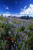 Flowers With Tattosh Mountains, Mt. Rainier National Park — Stock Photo