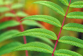 Detail Of Fern Leaves — Stockfoto