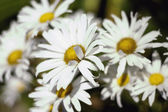 A Group Of Daisies — Stock Photo