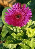 Pink Hybrid Flower — Stockfoto