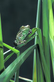Painted Monkey Frog In Reeds — Foto Stock