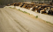 Cattle Eating In Trough — Stock Photo