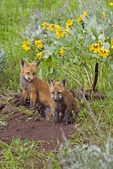 Baby Foxes At Den Site — Stock Photo