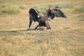 Golden Eagle On Prey — Stockfoto